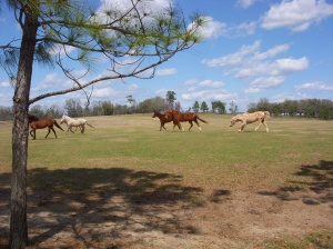 New rescue being accepted into his new family, with lots of galloping