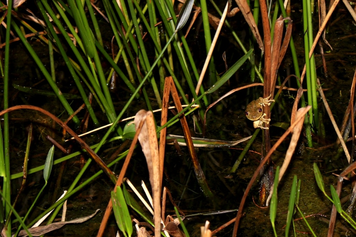 Cuban Tree Frog Hanging out in the reeds